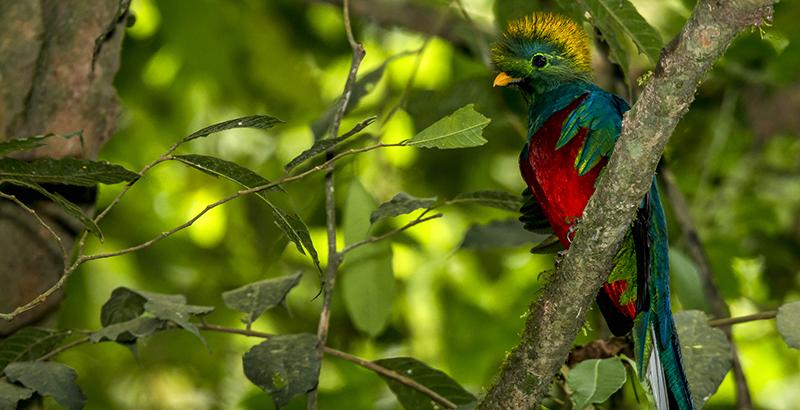 quetzal en peligro de extincion